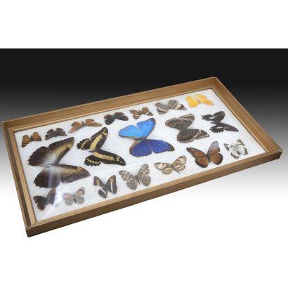 Colección de 19 mariposas, pps. XX.
