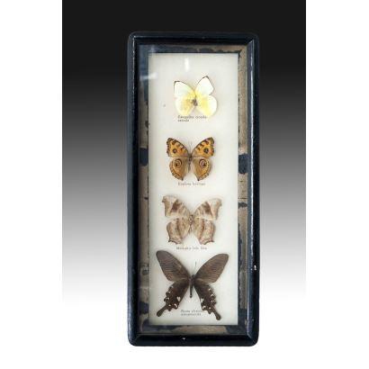 Colección de 4 mariposas, pps. XX.