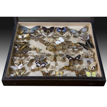 Colección de mariposas e insectos, S. XX.