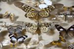Objetos. Colección de mariposas, ppios. S. XX.